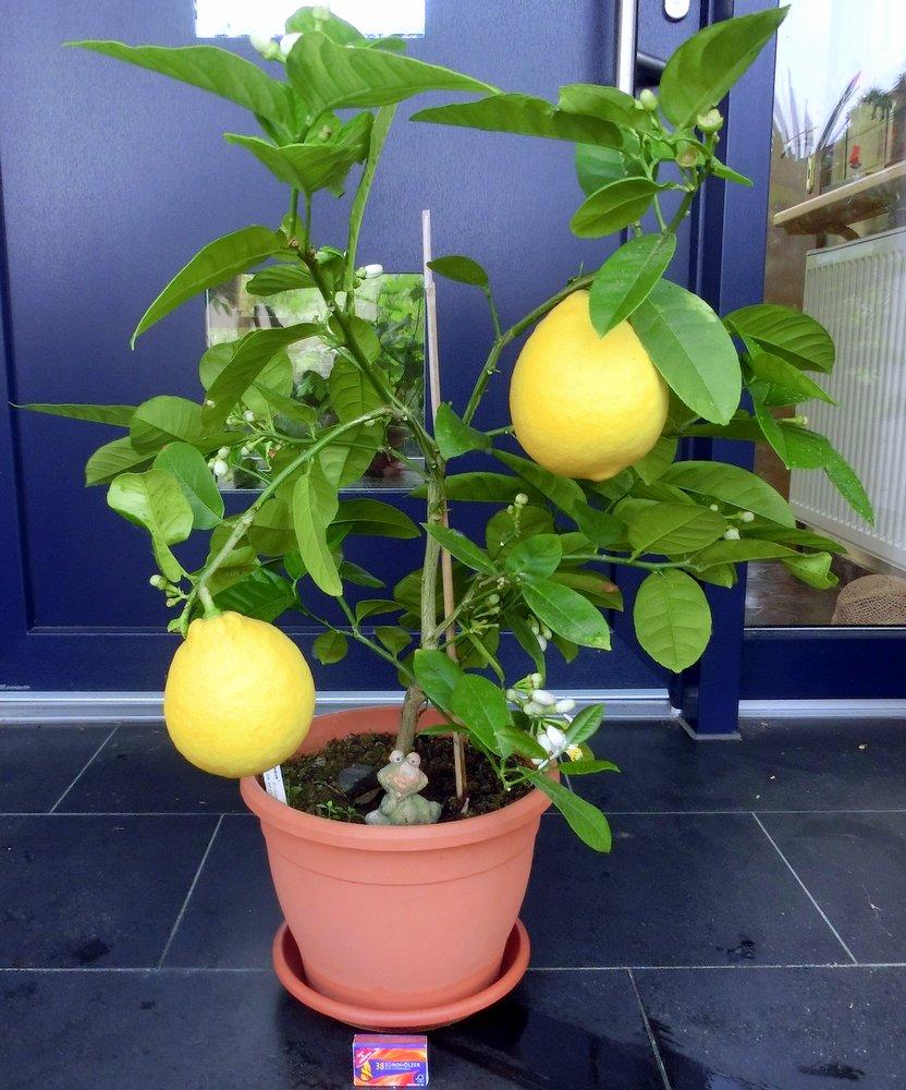 Berühmt Citrus limon Mini-Baum (Seite 1) / Winterharte, exotische Pflanzen &PF_18